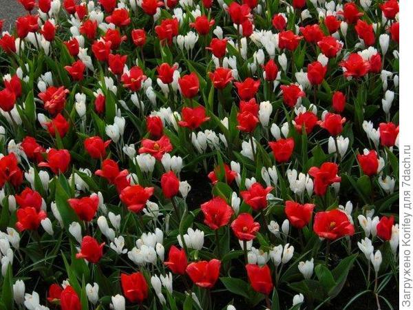 Невысокие ранние тюльпаны и желтые крокусы 5