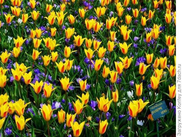 Невысокие ранние тюльпаны и желтые крокусы 6