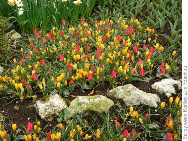Тюльпаны и желтые крокусы