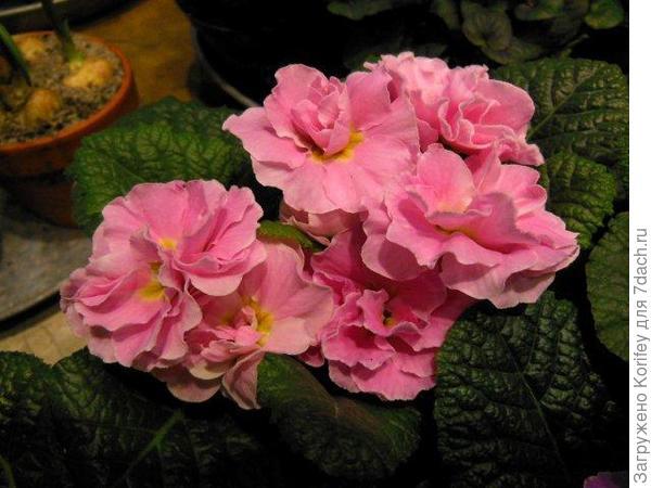 Махровая розовая