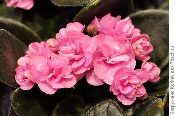 Миниатюрная махровая розовая