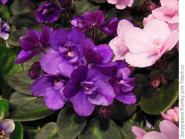 Миниатюрная махровая фиолетовая