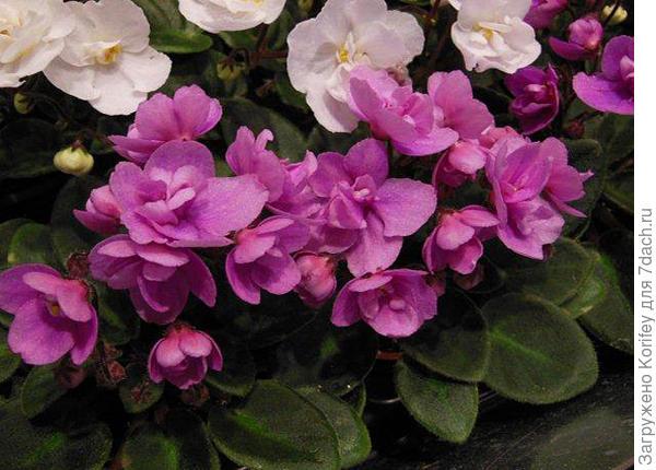 Миниатюрная махровая темно-розовая