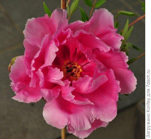 Махровый розовый в полуроспуске