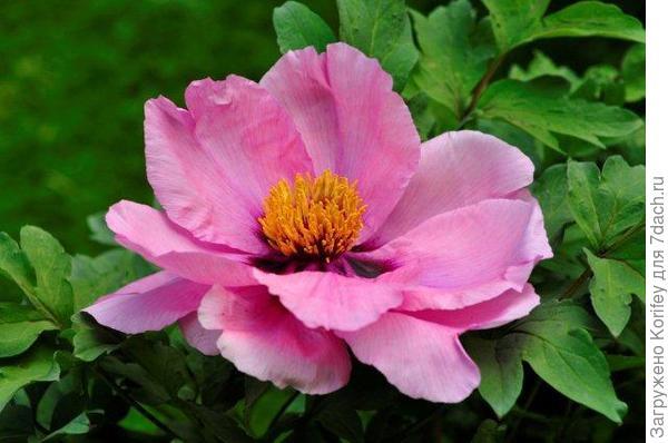 Пион древовидный розовый, не махровый