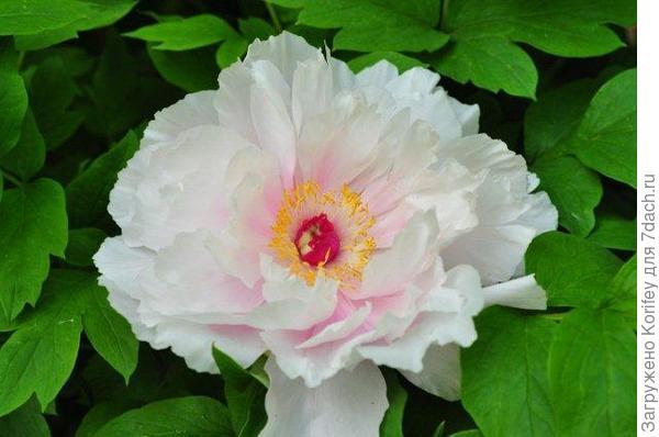 Махровый розовый в полуроспуске 55