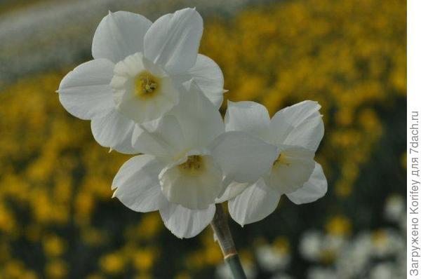 Сорт не помню как называется, диаметр цветочков 4-5 см