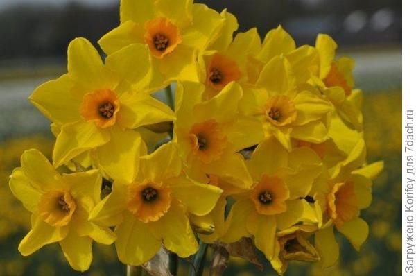 Сорт не помню как называется, диаметр цветочков 4-5 см 555