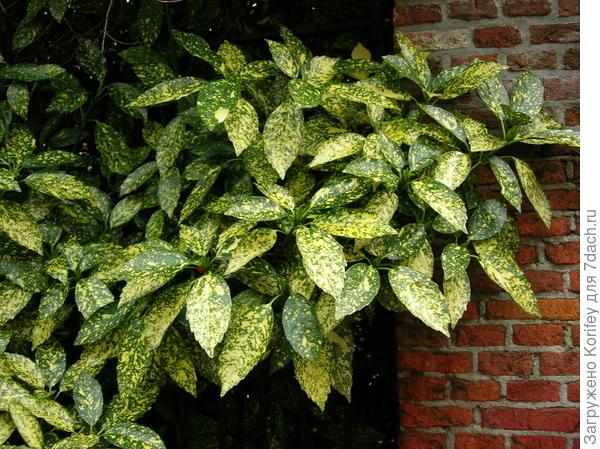 Aucuba japonica Crotonifolia_Аукуба японская_DSCN3267