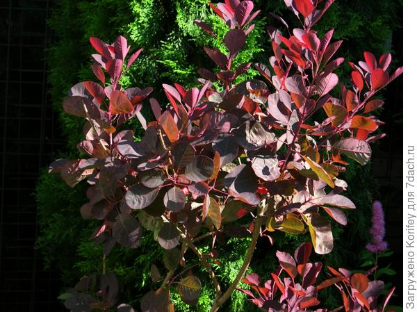 Скумпия кожевенная 'Роял Пурпл' - Cotinus coggygria 'Royal Purple'_DSCN9639