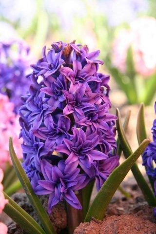 Фиолетовый махровый 4