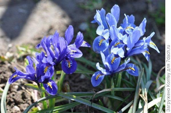 I.reticulata Cantab + Pixie_DSC_0631 (4)