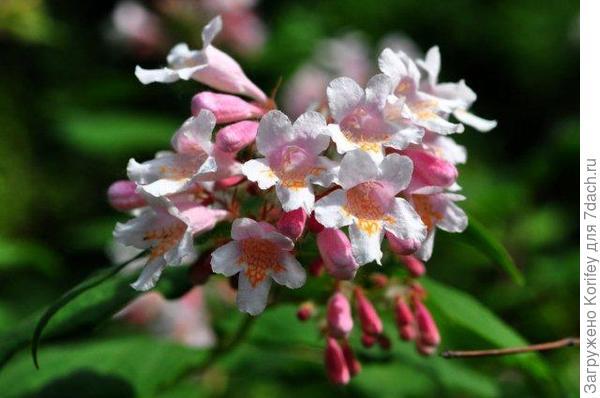 Кольквиция прелестная - гроздь цветов