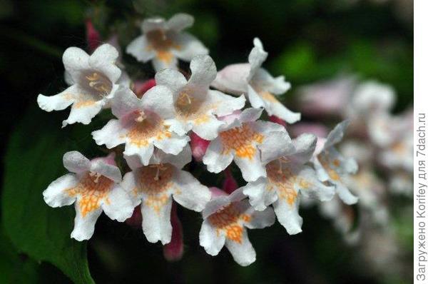 Кольквиция прелестная - гроздь цветов 2
