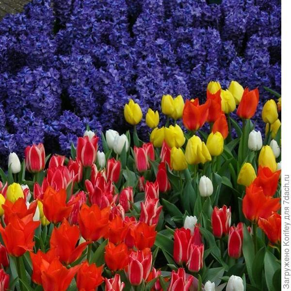 Сорт Peter Stuyvesant + Tulips_DSCN7346_2
