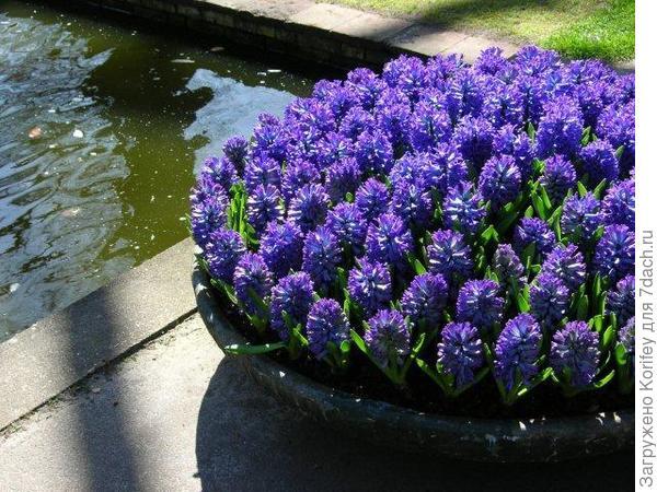 Сорт Delft Blue_DSCN5964