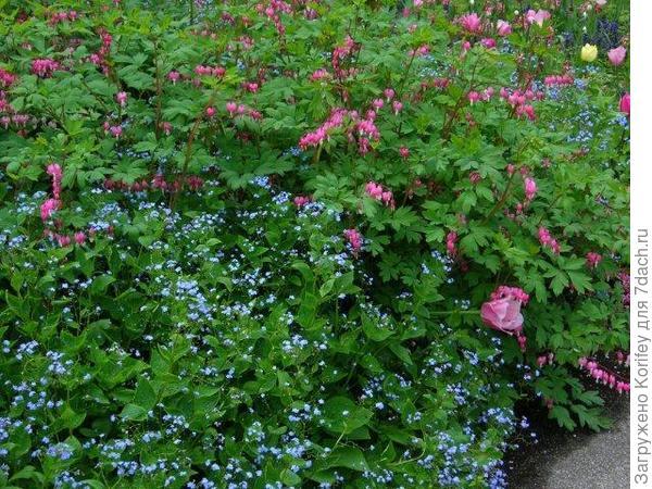 Dicentra + Brunnera macrophylla_DSCN3707