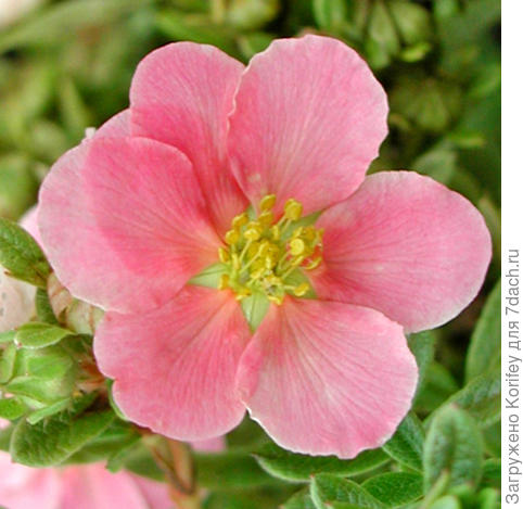 Potentilla pink Queen_IM