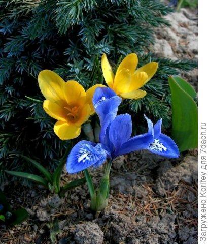 I.reticulata Cantab_DSCN3340