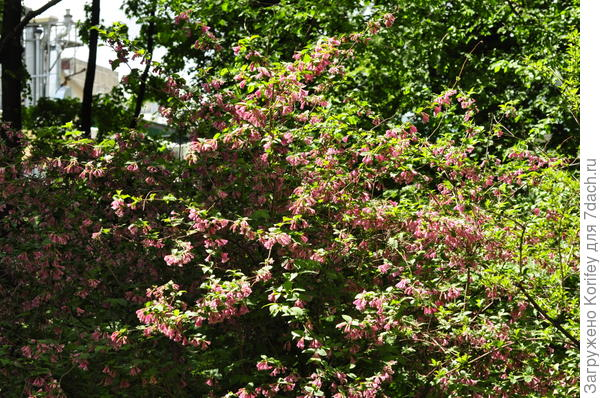 Вейгела цветущая_Weigela florida_DSC3656