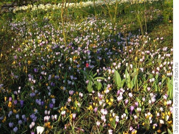 Крокусы с тюльпанами 7