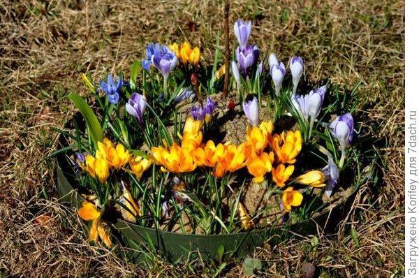 Cream Beauty + Miss Vain_Crocus chrysantus_DSC_DSCN6381