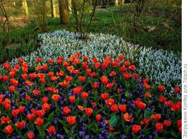 Крокусы с тюльпанами 2