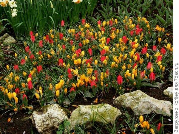 Крокусы с тюльпанами