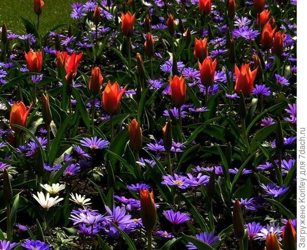 Anemona blanda Blue Shades & Tulip Orange Breeze_DSCN6818
