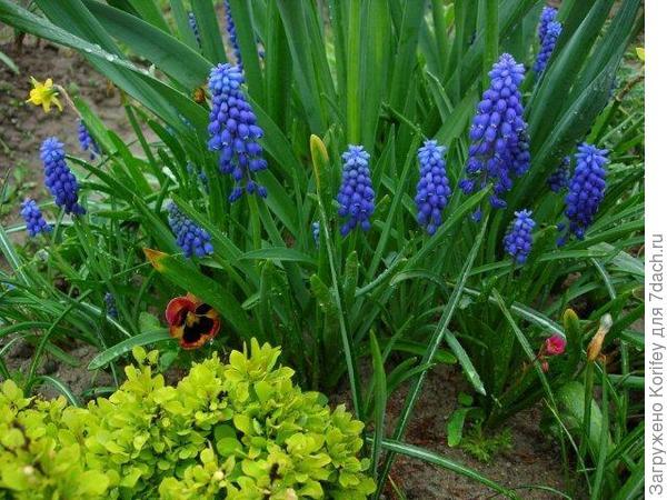Синие мускари и желтый барбарис