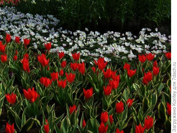 Anemona White Splendor & tulip Praestans Unicum_DSCN6994