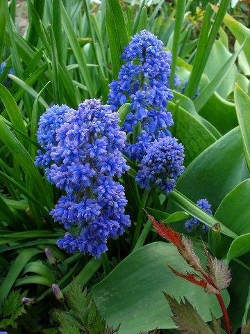 Мускари Blue Spike_DSCN8136