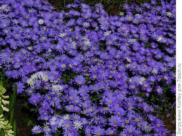 Anemona blanda Blue Shades_DSCN6108