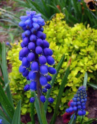 Синие мускари и желтый барбарис 2