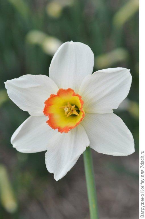 Нарцисс с яркой двухцветной коронкой