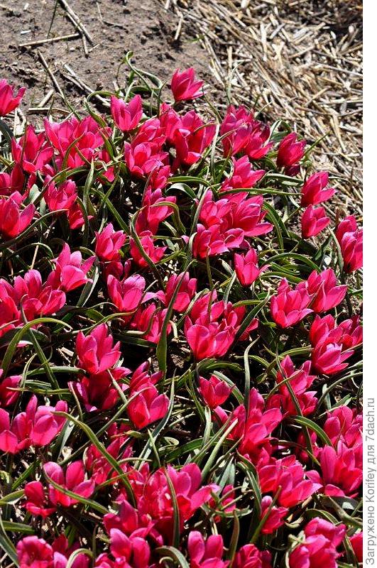 Тюльпан миниатюрный Montana Geel 3