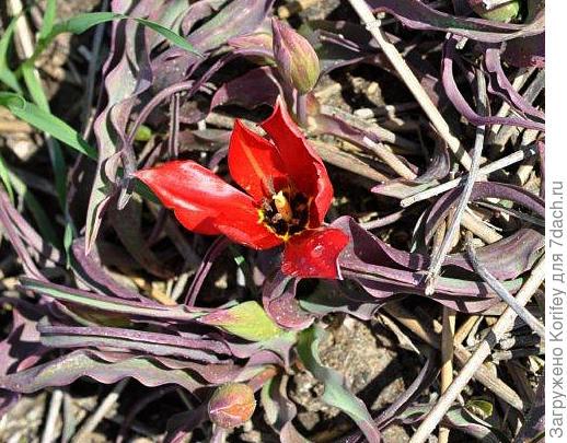 Тюльпан Armena