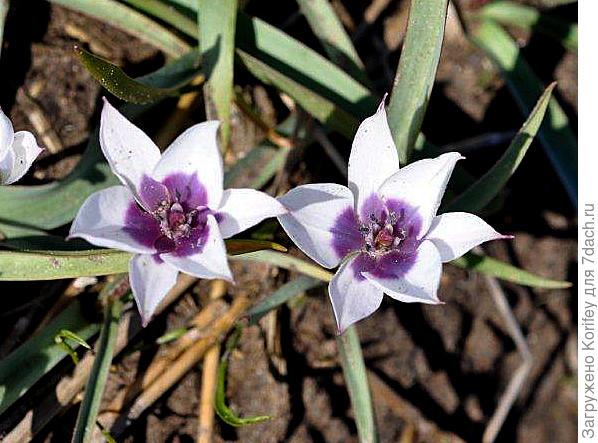 Тюльпан миниатюрный Montana Geel 2
