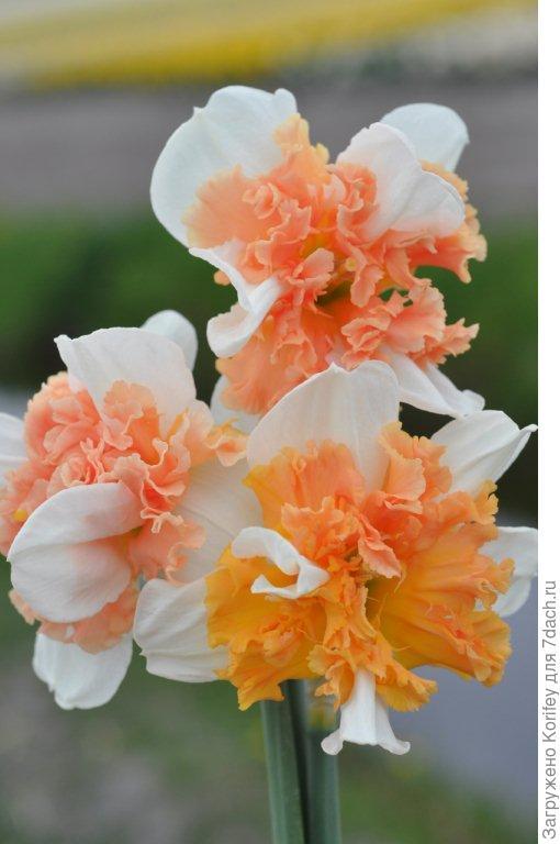 Нарцисс с махровой коронкой 2