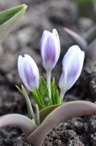 Prins Claus_Crocus chrysantus_DSC_0299 (75)