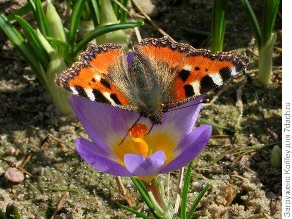 Tricolor with butterfly_Crocus chrysantus_DSCN6782
