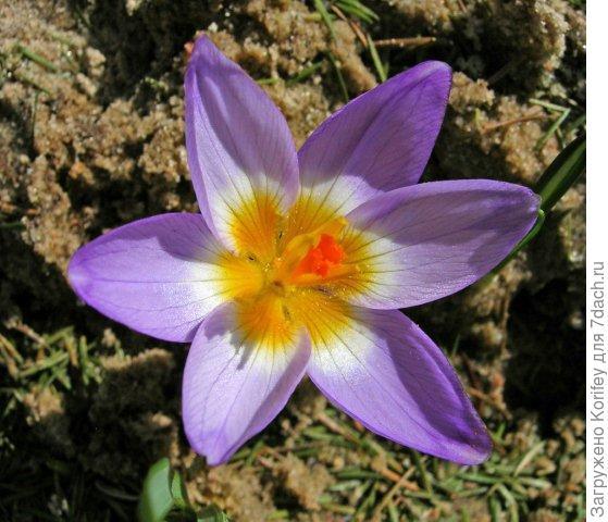 Tricolor_Crocus chrysantus_DSCN6560