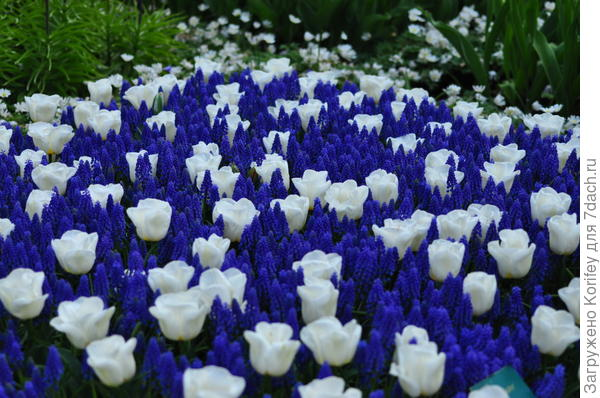 Или же мускари Armeniacum и белые тюльпаны сорта Калгари