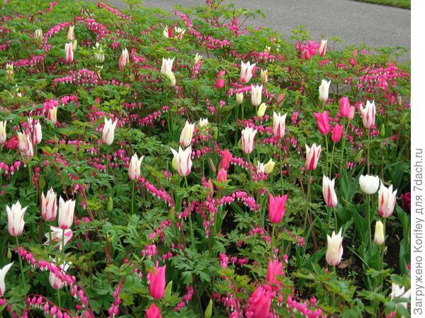 Можно посадить и розовую дицентру, но дополнить её белыми тюльпанами или нарциссами