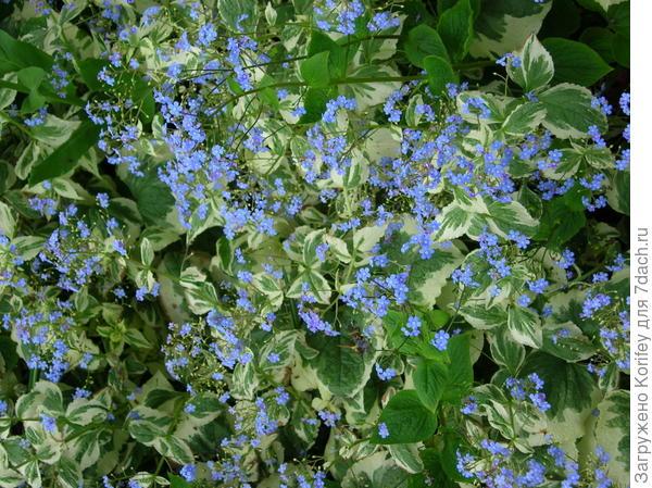 В тени и полутени хорошо растут и бруннеры, например, Brunnera macrophylla Handspen Cream_DSCN3681