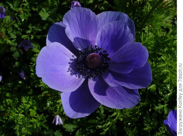 Анемона корончатая, цветет летом