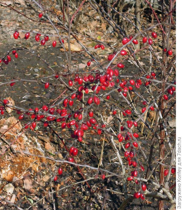Барбарис с красными ягодами