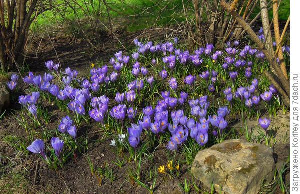 Гигантские весенние крокусы