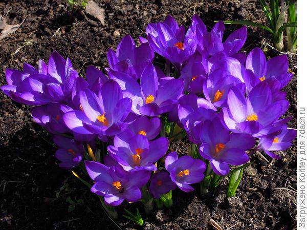 Гигантские весенние крокусы 2