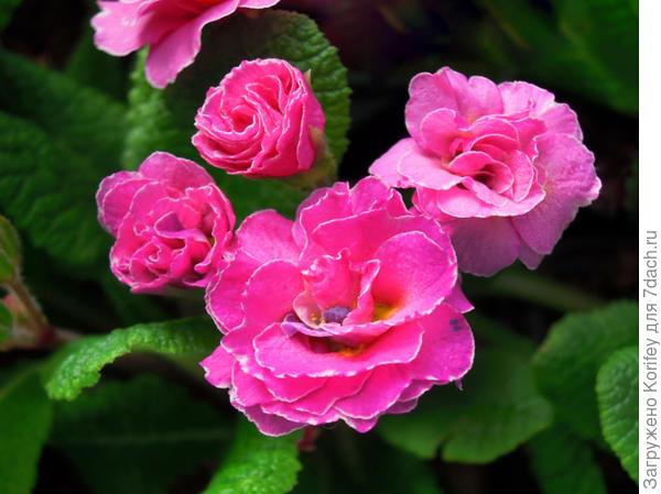Примула ярко-розовая
